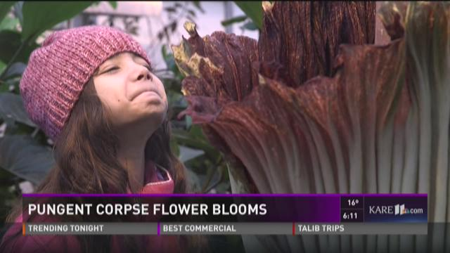 Pungent corpse flower blooms
