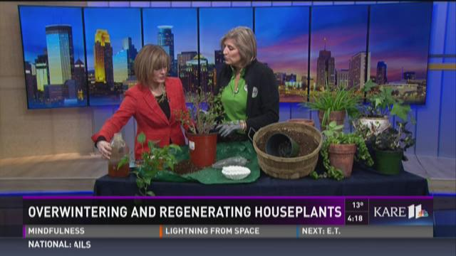 Overwintering and regenerating houseplants