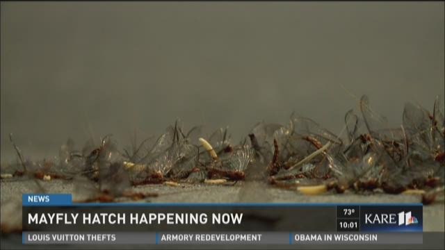 Mayfly hatch happening now