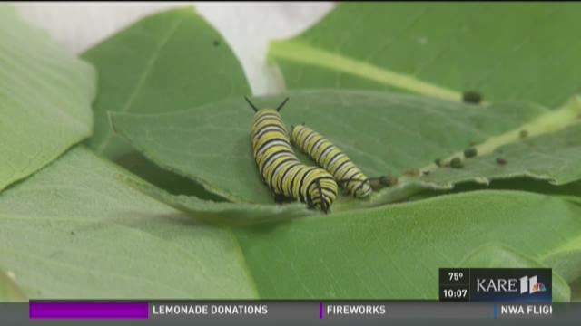 Minn. woman raises Monarchs in Eagan