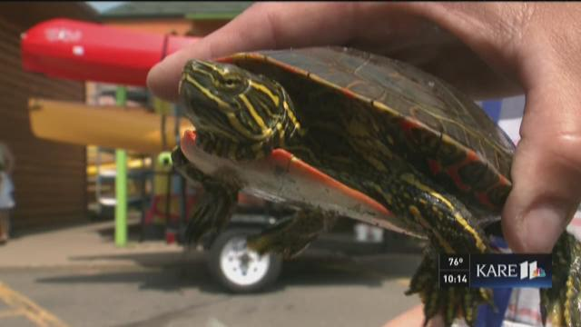 Nisswa turtle races draw summer crowds